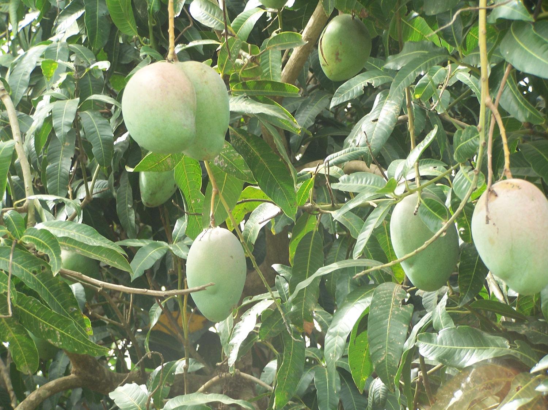 Noch grüne Mangofrüchte vor der Ernte